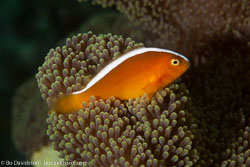 BD-140322-Panglao-3151-Amphiprion-sandaracinos.-Allen.-1972-[Yellow-clownfish].jpg
